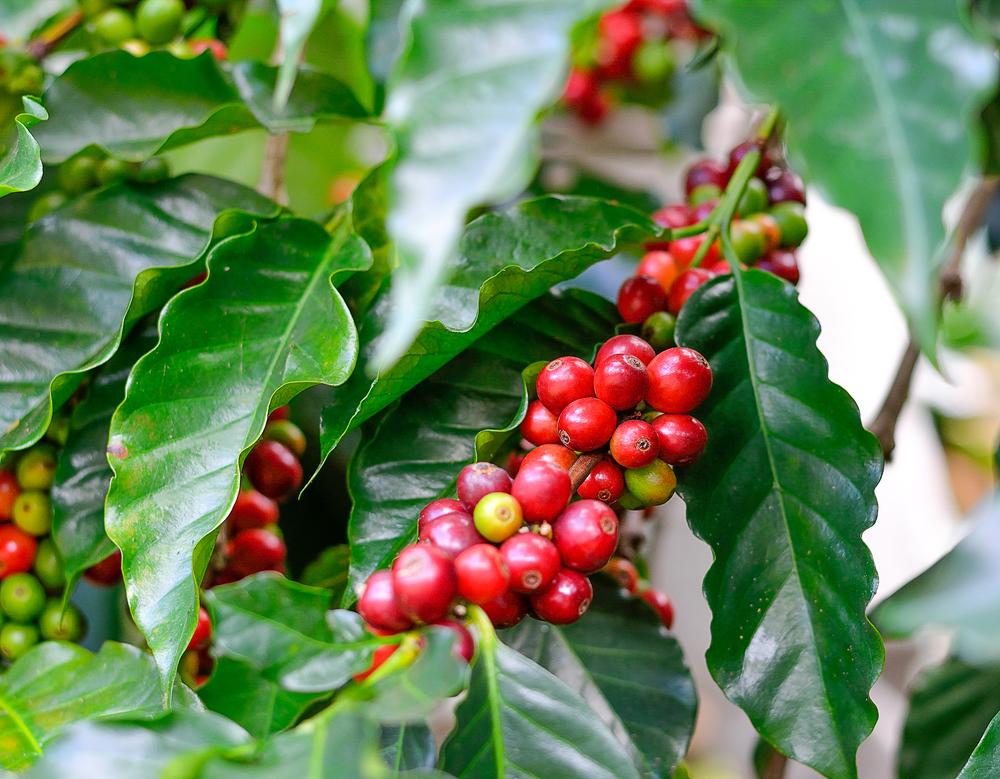 planta café