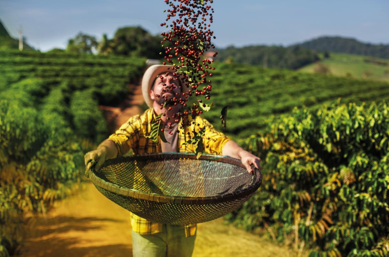 Café e Independência do Brasil: tudo a ver